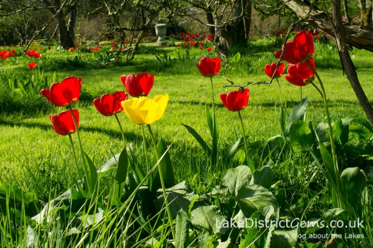 Spring tulips in the orchard at Levens Hall