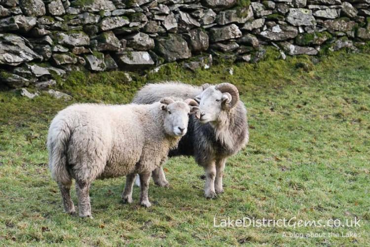 Sheep in Langdale