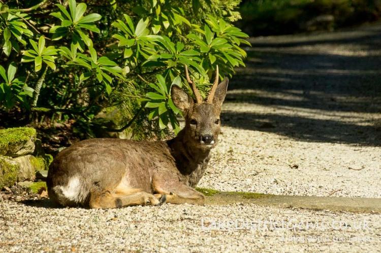 Deer sitting