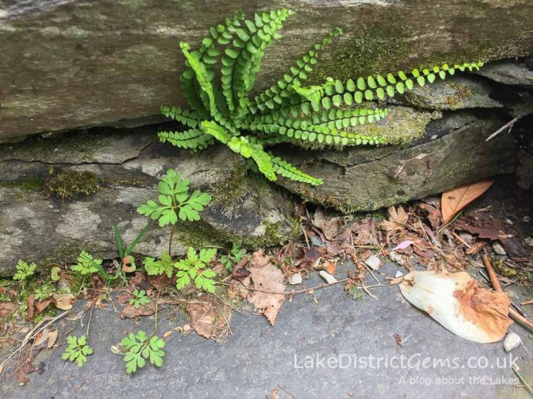Fern on the roadside, Troutbeck